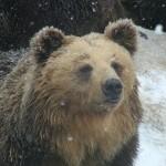 Hokkaido Brown Bear (Higuma).